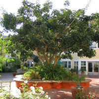 Outside view of a large tree in the courtyard